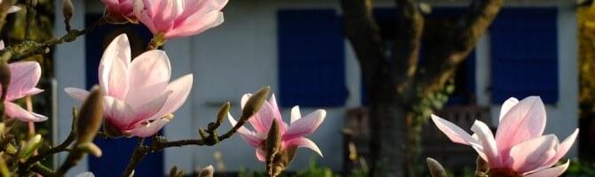 magnolia-193604_960_720